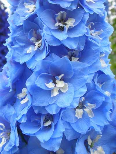Blue Delphiniums