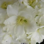 Image of butterball floret