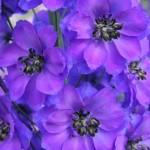 Link to Purple Delphinium Gallery