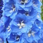 Link to Blue Delphinium Gallery